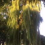Weeping willow, Kamloops park