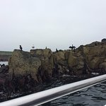 Sea birds (shags) lined up on the cliff edge