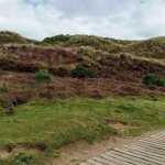 Some dunes by the boardwalk, covered in heather