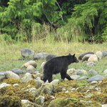 Black bear flipping rocks for a quick meal