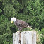 Bald eagle munching on a fish