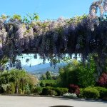 Lovely Wisteria bloom