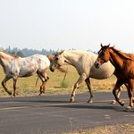 Stables: horses crossing the road to pasture every evening