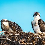 osprey babies on telephone pole outside cottages