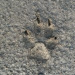 Dog print (wolf print?), Clearwater Road