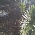 Silversword plant - found nowhere else in the world, not even on the other islands!