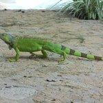 """Resident iguana """"Bernie"""""""