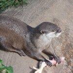 otter feeding time