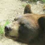 Bear waiting for a treat at Gray Animal Park