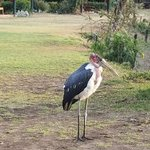 resident storks