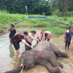 Forced elephants by Mahouts (keepers) in Ran-Tong (Save and Rescue Elephant Centre)