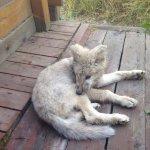 Wolf Luke, ein Ranch-Bewohner