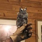 sreech owl