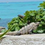 Iguanas abound