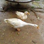 Swans near pond