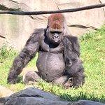 Gorilla at Como Zoo, Minnesota. Ketan Deshpande, MN