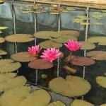 Lotus flowers. Como Zoo, Minnesota. Entrance. Ketan Deshpande, MN