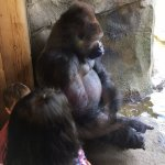 Gorilla. Up close and personal at Como Zoo, Minnesota. Ketan Deshpande, MN