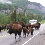 Bison in the Yukon