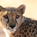 Photo of Cheetah Conservation Fund