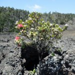 Ohi'a tree springing up from the lava. Nature is amazing!