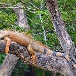 Iguana, Tembisque River Boat Tour