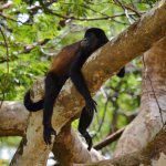 Howler Monkey, Tembisque River Boat Tour