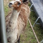 Llama welcome wagon.