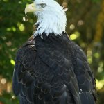 bald eagle (I assume its wings are injured because it doesn't fly off)