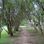 Rows of Crape Myrtle at Walnut Grove