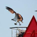 Osprey flying above the bay