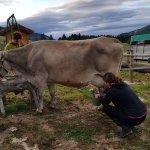 La mucca Silvia pronta per la mungitura