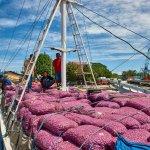 Eindrücke vom Pelabuhan Paotere in Makassar. Zwiebeln aus Flores