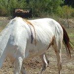 Queste sono le condizioni pietose di questo povero cavallo, una ferita piena di insetti e animal