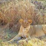 Female Lion