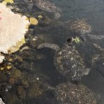 Turtles at feed time