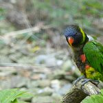 Lorikeet - prancing for a pic