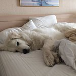 King size bed--plenty of room for our Great Pyrenees, Bear