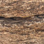 A lizard hides in a crack