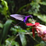 Feeding a Violet Sabrewing