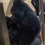 Der Silberrücken-Gorilla Kibo, Foto ohne Blitzlicht aus nächster Nähe