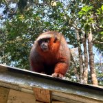 Red bearded monkey superrvising from a roof