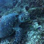 Turtle on Tortuga reef