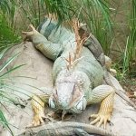 Iguanas large and small