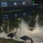 Geese at the boat lagoon on the Thames at the edge of Port Meaow