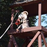 When we put feed into the bucket this goat learned how to pull the rope for the feed bucket.