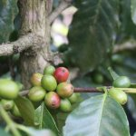 Foto de Finca Filadelfia Coffee Resort & Tours