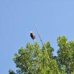 Bald Eagle Along Snake River