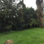 Giant tortoises outside on the lawn