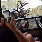 Caribou antler on window of tram